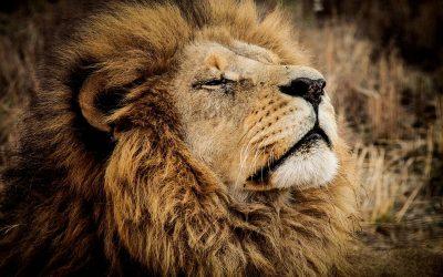 CITES y su fallo a una especie como el león